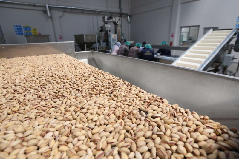 Siirt Fıstığı İşleme Sanayi ve Ticaret A.Ş' Yaş Fıstık Alımına Başladı