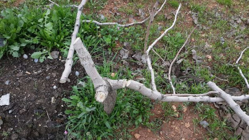 Vali Atik,Kesilen Fıstık Ağaçları İle İlgili Geniş Çaplı Soruşturma Başlattı