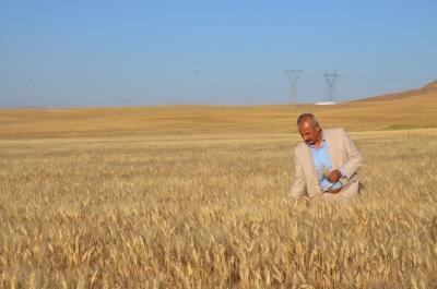 Kuraklık ekmeklik buğdayı vurdu